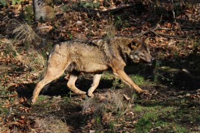 Iberyjski wilk